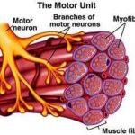 מה הן יחידות מוטוריות, ולמה הן כל-כך חשובות לכוח ובניית מסת שריר