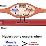 מהי סינטזת חלבונים, איך היא מתקשרת להיפרטרופיה ומה אפשר ללמוד מהמנגנון כלפי התזונה והאימונים